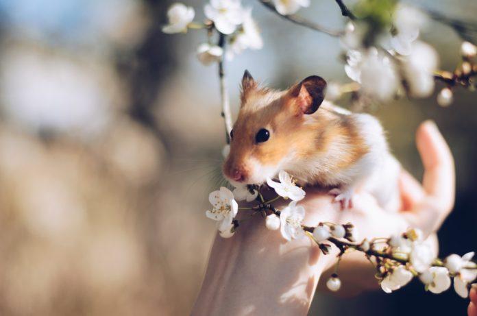 sødt hamster bliver holdt